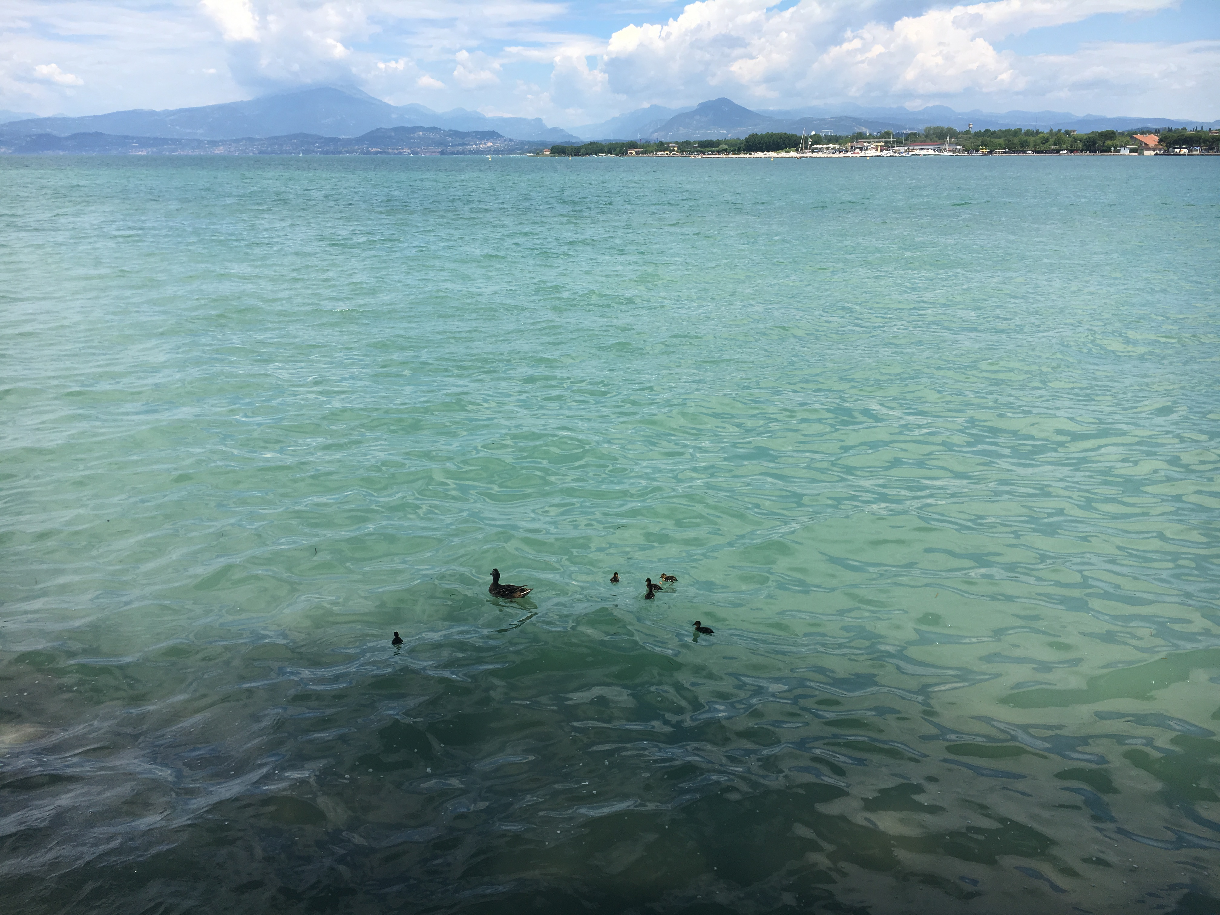 Lake Garda Ducks