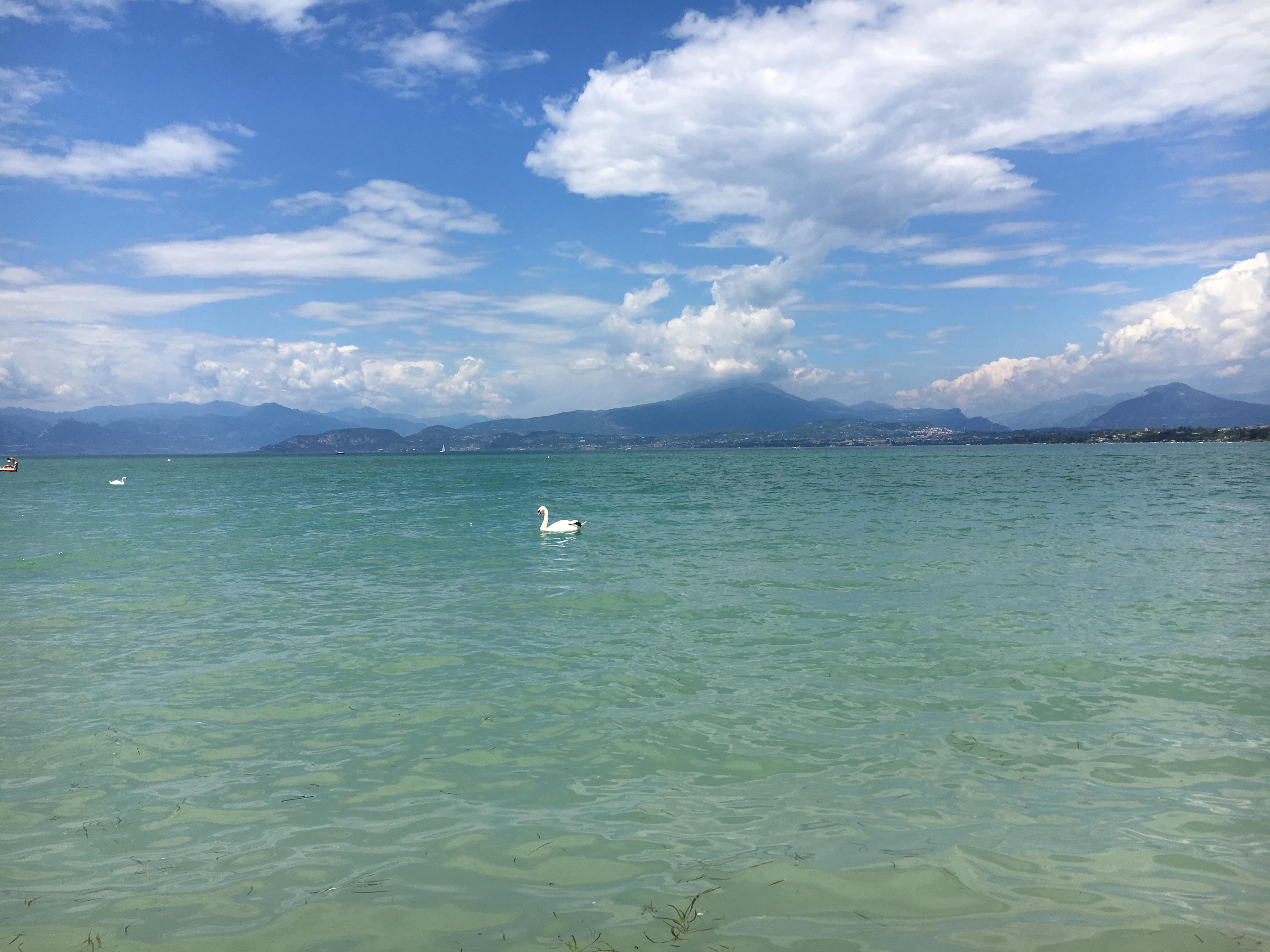 Swan on Lake Garda