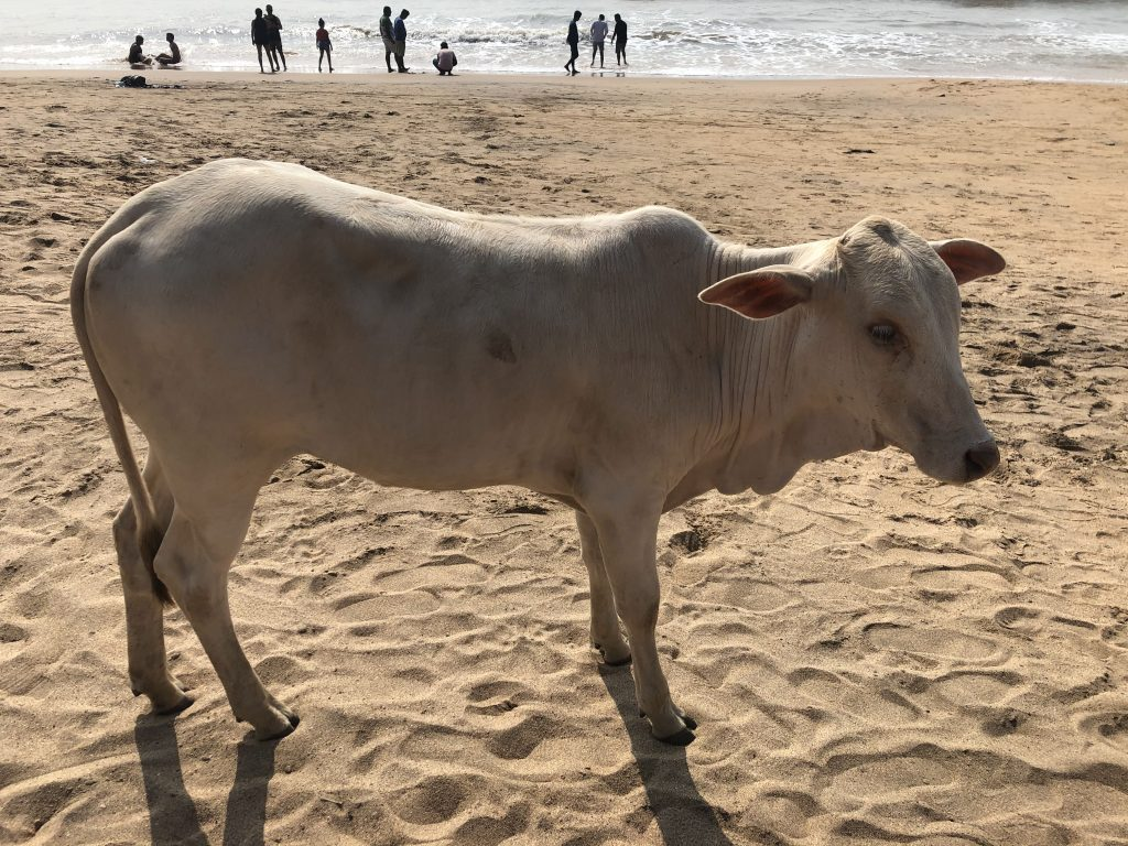 Sacred cow in india